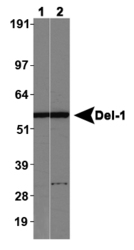 EDIL3 / DEL1 Antibody - Del-1 Antibody - Lane 1: Western blot on normal human brain, Lane 2: Western blot on normal mouse brain.  This image was taken for the unconjugated form of this product. Other forms have not been tested.