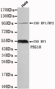 Western blot detection of PEG10 in Hela cell lysates using PEG10 antibody (1:1000 diluted).
