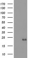 EFNA2 / Ephrin A2 Antibody - HEK293T cells were transfected with the pCMV6-ENTRY control (Left lane) or pCMV6-ENTRY EFNA2 (Right lane) cDNA for 48 hrs and lysed. Equivalent amounts of cell lysates (5 ug per lane) were separated by SDS-PAGE and immunoblotted with anti-EFNA2.