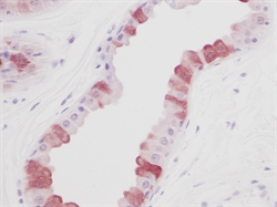 EGF Antibody - Staining of formalin-fixed, paraffin-embedded normal human skin with Rabbit anti-Human EGF (RABBIT ANTI HUMAN EGF).