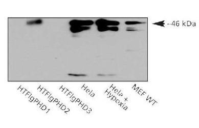 Western blot analysis of human PHD2. Samples: Recombinant FLAG-His-PHD1, PHD2 and PHD3 (10 ng/lane), HeLa whole cell lysate and MEFs.  This image was taken for the unconjugated form of this product. Other forms have not been tested.