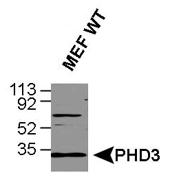 EGLN3 / PHD3 Antibody - Western Blot analysis of human PHD3. Samples: HeLa whole cell lysates and MEFs.  This image was taken for the unconjugated form of this product. Other forms have not been tested.