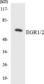 EGR1 + EGR2 Antibody - Western blot analysis of the lysates from RAW264.7cells using EGR1/2 antibody.