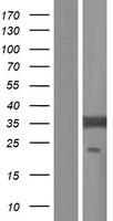 EIF2B1 Protein - Western validation with an anti-DDK antibody * L: Control HEK293 lysate R: Over-expression lysate