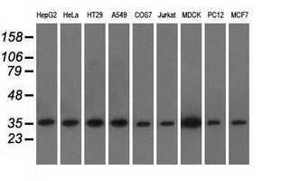 Western blot analysis of extracts (35ug) from 9 different cell lines by using anti-EIF2S1 monoclonal antibody.