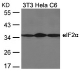 Western blot of extracts from 3T3, HeLa and C6 cells using eIF2a(Ab-51) antibody.