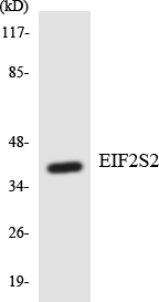 Western blot analysis of the lysates from HT-29 cells using EIF2S2 antibody.