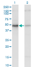 Western blot of EIF2S2 expression in transfected 293T cell line by EIF2S2 monoclonal antibody (M09), clone 2F3.
