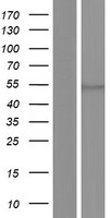 EIF2S3 / EIF2G Protein - Western validation with an anti-DDK antibody * L: Control HEK293 lysate R: Over-expression lysate