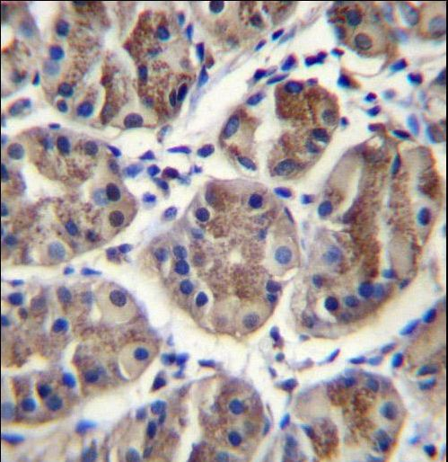 EIF3A Antibody - EIF3A Antibody immunohistochemistry of formalin-fixed and paraffin-embedded human stomach tissue followed by peroxidase-conjugated secondary antibody and DAB staining.