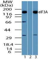 Western blot of eIF3A in Daudi cell lysate in the 1) absence and 2) presence of immunizing peptide and 3) NIH 3T3 cell lysate using LS-B7957 at 0.5 ug/ml, 0.5 ug/ml and 0.25 ug/ml respectively.