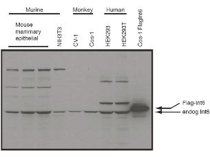 Anti-eIF3S6/Int6 Antibody - Western Blot. Western blot of affinity purified anti-eIF3S6/Int6 antibody shows detection of endogenous eIF3S6/Int6 in whole cell extracts from murine (HC-11 and NIH3T3), monkey (CV-1 and Cos-1), and human (HEK293T) cell lines as well as over-expressed eIF3S6/Int6 (control transfected flag-tagged Int6). The identity of the higher and lower molecular weight bands is unknown. The band at ~48 kD, indicated by the arrowhead, corresponds to flag-tagged EIF3S6/Int6. Primary antibody was used at 1:1000. Personal communication, J. Lee, NCI, Bethesda, MD.