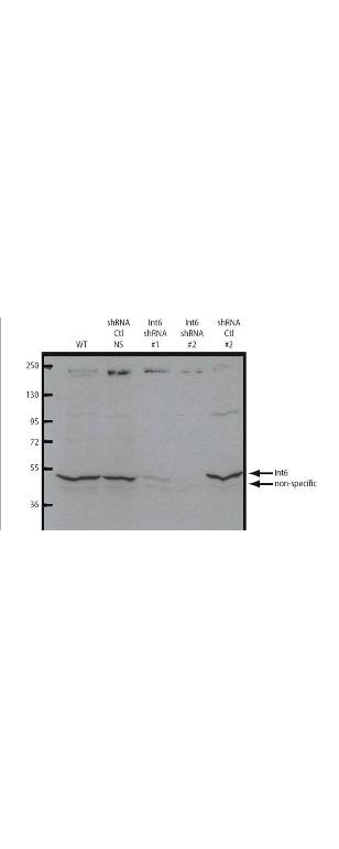Anti-eIF3S6/Int6 Antibody - Western Blot. Western blot of affinity purified anti-eIF3S6/Int6 antibody shows detection of endogenous eIF3S6/Int6. Specific staining is not present in lysates containing lentiviral knockdown vectors (shRNA #1 and #2. Control vectors, specifically a scrambled sequence (Ctl NS) and a sequence against an unrelated gene (Ctl #2), were also used. Personal communication, J. Lee, NCI, Bethesda, MD.