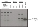 Western blot using the affinity purified anti-eIF3S6/Int6 antibody shows detection of endogenous eIF3S6/Int6 in whole cell extracts from murine (HC-11 and NIH3T3), monkey (CV-1 and Cos-1), and human (HEK293T) cell lines as well as over-expressed eIF3S6/Int6 (control transfected flag-tagged Int6).  The identity of the higher and lower molecular weight bands is unknown.  The band at ~48 kDa, indicated by the arrowhead, corresponds to flag-tagged EIF3S6/Int6.  Primary antibody was used at 1:1000.