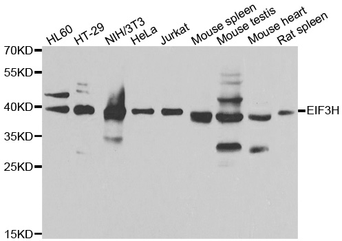 EIF3H / EIF3S3 Antibody - Western blot analysis of extracts of various cell lines, using EIF3H antibody at 1:1000 dilution. The secondary antibody used was an HRP Goat Anti-Rabbit IgG (H+L) at 1:10000 dilution. Lysates were loaded 25ug per lane and 3% nonfat dry milk in TBST was used for blocking. An ECL Kit was used for detection and the exposure time was 1s.
