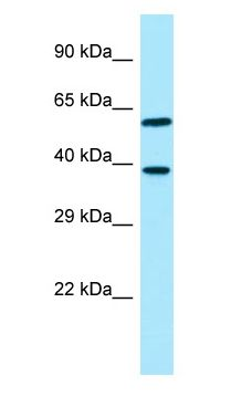 EIF3I / EIF3S2 antibody Western Blot of HeLa.  This image was taken for the unconjugated form of this product. Other forms have not been tested.