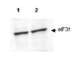 Anti-eIF3F Antibody - Western Blot. Western blot of affinity purified anti-eIF3f antibody shows detection of endogenous eIF3f in lysates from both control HeLa cells (lane 1) and HeLa cells transformed with the kinase cdk11 (lane 2). Cdk11 is responsible for phosphorylating eIF3f in vivo. After SDS-PAGE and transfer, the membrane was probed with the primary antibody diluted to 1:200. This antibody recognizes both phosphorylated and non-phosphorylated eIF3f. Personal Communication, Jiaqi Shi, Univ. Arizona, Tucson, AZ.