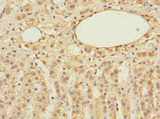 Immunohistochemistry of paraffin-embedded human adrenal gland tissue at dilution 1:100