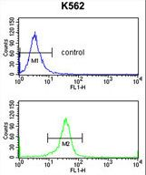 EIF4A2 Antibody - EIF4A2 Antibody flow cytometry of K562 cells (bottom histogram) compared to a negative control cell (top histogram). FITC-conjugated goat-anti-rabbit secondary antibodies were used for the analysis.