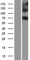 EIF4B Protein - Western validation with an anti-DDK antibody * L: Control HEK293 lysate R: Over-expression lysate