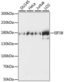 EIF5B / IF2 Antibody - Western blot analysis of extracts of various cell lines, using EIF5B antibody. The secondary antibody used was an HRP Goat Anti-Rabbit IgG (H+L) at 1:10000 dilution. Lysates were loaded 25ug per lane and 3% nonfat dry milk in TBST was used for blocking. An ECL Kit was used for detection and the exposure time was 3s.