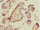 Immunohistochemistry of paraffin-embedded human placenta tissue at dilution 1:100