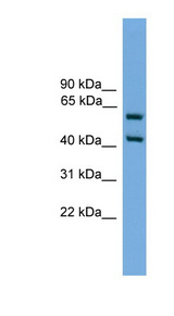ELF3 antibody Western blot of SP2/0 cell lysate. This image was taken for the unconjugated form of this product. Other forms have not been tested.