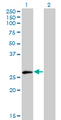 Western Blot analysis of ELF5 expression in transfected 293T cell line by ELF5 monoclonal antibody (M01), clone 3D10.Lane 1: ELF5 transfected lysate(30.1 KDa).Lane 2: Non-transfected lysate.