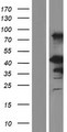 EN1 / Engrailed Protein - Western validation with an anti-DDK antibody * L: Control HEK293 lysate R: Over-expression lysate