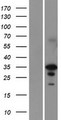 EN2 Protein - Western validation with an anti-DDK antibody * L: Control HEK293 lysate R: Over-expression lysate