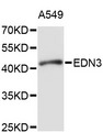 Western blot analysis of extracts of A-549 cells, using EDN3 antibody at 1:1000 dilution. The secondary antibody used was an HRP Goat Anti-Rabbit IgG (H+L) at 1:10000 dilution. Lysates were loaded 25ug per lane and 3% nonfat dry milk in TBST was used for blocking. An ECL Kit was used for detection and the exposure time was 20s.