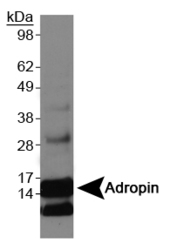 ENHO / Adropin Antibody - Adropin Antibody - Western blot on Adropin overexpression lysate.  This image was taken for the unconjugated form of this product. Other forms have not been tested.