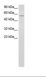 ENL / MLLT1 Antibody - Raji Cell Lysate.  This image was taken for the unconjugated form of this product. Other forms have not been tested.