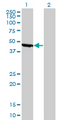 Western blot of ENO1 expression in transfected 293T cell line by ENO1 monoclonal antibody clone 8G8.