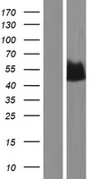 ENO3 / Enolase 3 Protein - Western validation with an anti-DDK antibody * L: Control HEK293 lysate R: Over-expression lysate