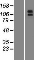 ENPEP / Aminopeptidase A Protein - Western validation with an anti-DDK antibody * L: Control HEK293 lysate R: Over-expression lysate