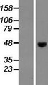 ENTPD5 / CD39L4 Protein - Western validation with an anti-DDK antibody * L: Control HEK293 lysate R: Over-expression lysate
