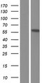 EPB41L4B Protein - Western validation with an anti-DDK antibody * L: Control HEK293 lysate R: Over-expression lysate
