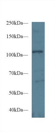 Western Blot; Sample: Human Hela cell lysate; Primary Ab: 1µg/ml Rabbit Anti-Mouse EPHA1 Antibody Second Ab: 0.2µg/mL HRP-Linked Caprine Anti-Rabbit IgG Polyclonal Antibody