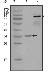 Western blot using EphA7 mouse monoclonal antibody against truncated GST-EphA7 recombinant protein (1) and truncated EphA7 (aa25-556)-hIgGFc transfected CHOK1 cell lysate (2).