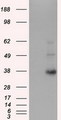 HEK293T cells were transfected with the pCMV6-ENTRY control (Left lane) or pCMV6-ENTRY ERCC1 (Right lane) cDNA for 48 hrs and lysed. Equivalent amounts of cell lysates (5 ug per lane) were separated by SDS-PAGE and immunoblotted with anti-ERCC1.