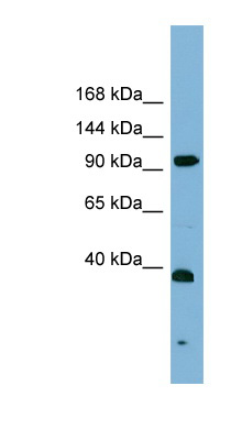 ERCC4 / XPF antibody LS-C108068 Western blot of PANC1 cell lysate.  This image was taken for the unconjugated form of this product. Other forms have not been tested.