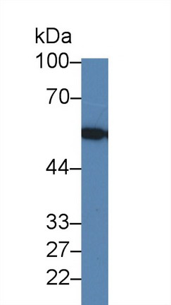 Western Blot; Sample: Human Hela cell lysate; Primary Ab: 1µg/ml Rabbit Anti-Human LMAN1 Antibody Second Ab: 0.2µg/mL HRP-Linked Caprine Anti-Rabbit IgG Polyclonal Antibody