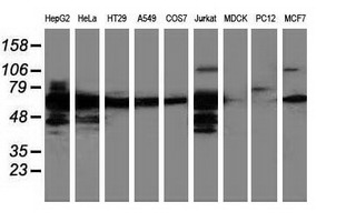 Western blot of extracts (35 ug) from 9 different cell lines by using anti-LMAN1 monoclonal antibody.