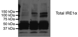 Detection of IRE-1 alpha. Lane 1: COS-7 untransfected Lane 2: COS-7 expressing wild-type IRE1 alpha Lane 3: COS-7 expressing kinase-dead IRE-1 alpha.  This image was taken for the unconjugated form of this product. Other forms have not been tested.