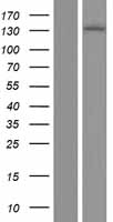 ERN1 / IRE1 Protein - Western validation with an anti-DDK antibody * L: Control HEK293 lysate R: Over-expression lysate