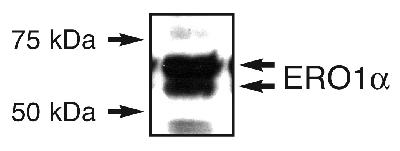 ERO1A / ERO1L Antibody - Detection of ERO1 alpha in an endogenous 293T cell lysate.  This image was taken for the unconjugated form of this product. Other forms have not been tested.