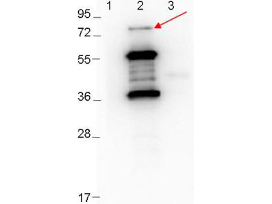ErpD Antibody - Western blot showing detection of 0.1 µg recombinant proteins in western blot. Lane 1: Molecular weight markers. Lane 2: MBP-ErpD/Arp37 fusion proteins (arrow: expected MW of major band: 73.3 kDa). Lane 3: MBP alone. Protein was run on a 4-20% gel, then transferred to 0.45 µm nitrocellulose. After blocking with 1% BSA-TTBS overnight at 4°C, primary antibody was used at 1:1000 at room temperature for 30 min. HRP-conjugated Goat-Anti-Rabbit secondary antibody was used at 1:40,000 in MB-070 blocking buffer and imaged on the VersaDoc MP 4000 imaging system (Bio-Rad).