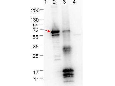ErpN Antibody - Western blot showing detection of 0.1 µg recombinant protein in Western blot. Lane 1: Molecular weight markers. Lane 2: MBP-ErpN/OspE fusion protein (arrow; 59.5 kDa expected MW). Lane 3: fusion protein (MBP-tagged) plus cleaved fusion protein (without MBP). Lane 4: MBP alone. The lower bands are probably breakdown products. The upper bands in lane 3 are fusion protein (top band), or breakdown products of the fusion protein (bands in middle of blot). Protein was run on a 4-20% gel, then transferred to 0.45 µm nitrocellulose. After blocking with 1% BSA-TTBS overnight at 4°C, primary antibody was used at 1:1000 at room temperature for 30 min. HRP-conjugated Goat-Anti-Rabbit secondary antibody was used at 1:40,000 in MB-070 blocking buffer and imaged on the VersaDoc MP 4000 imaging system (Bio-Rad).