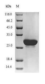 loiP Protein - (Tris-Glycine gel) Discontinuous SDS-PAGE (reduced) with 5% enrichment gel and 15% separation gel.